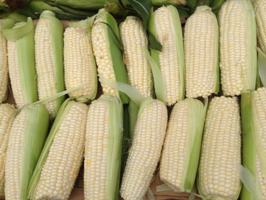 Sweet corn at Tamai Farms