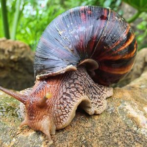 "A ""Archachatina marginata,"" or most commonly known as a giant African land snail"
