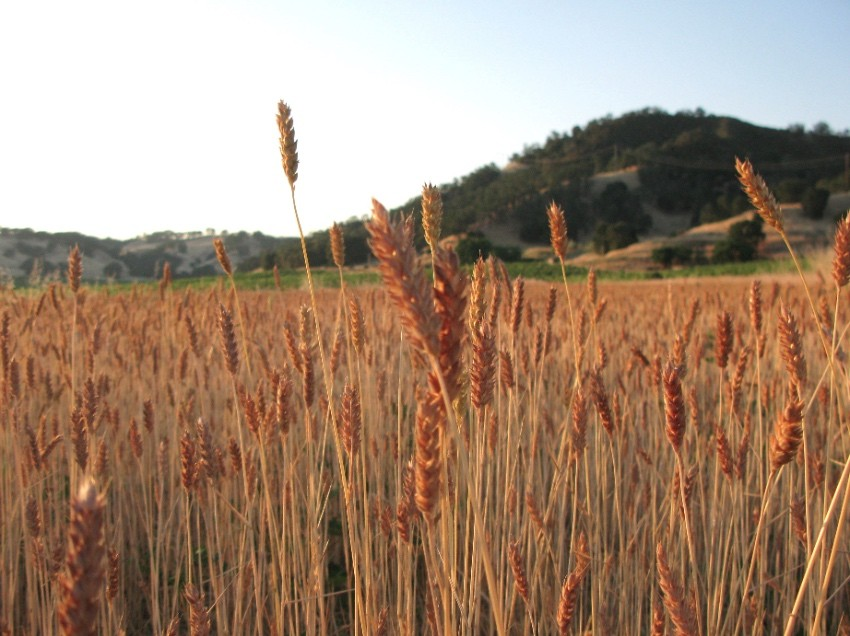 Get up close and personal with farmer Mai Nguyen's heirloom sonora wheat
