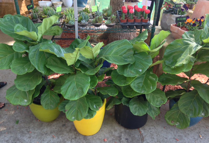 fiddle leaf figs in colorful pots at greenhouse in the melrose trading post - Fiddle Leaf Fig Tree
