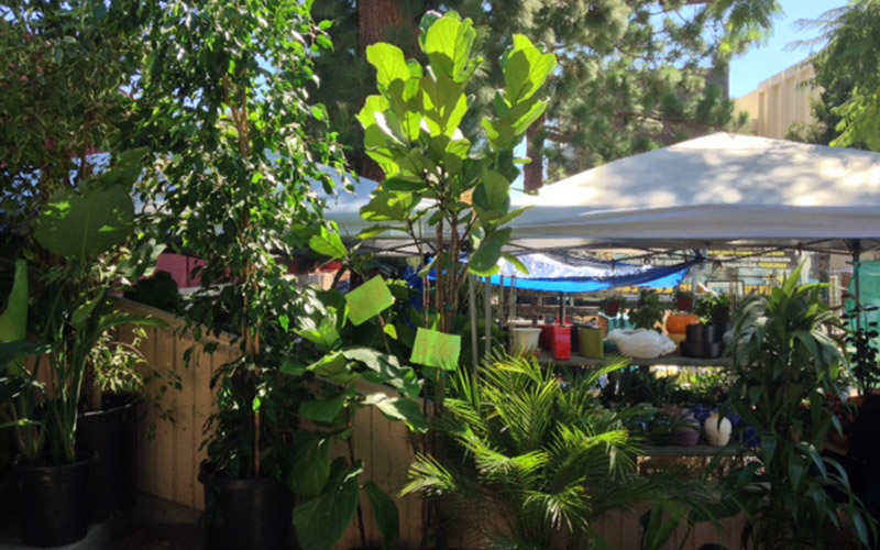 SOLD! A fiddle-leaf fig on hold at The GreenHouse - Melrose Trading Post