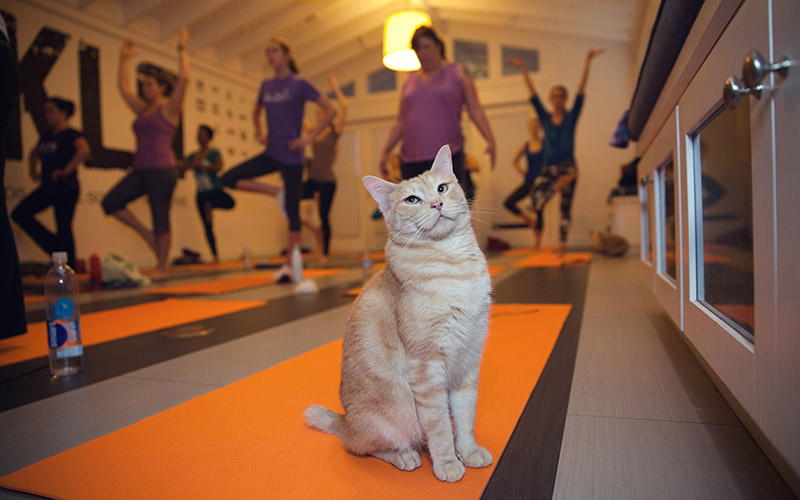 ME-OM Yoga with adoptable cats at NKLA